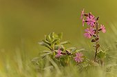 Red Campion in a meadow in spring Finistère