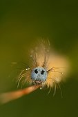 Portrait of a caterpillar of Ground lackey Finistere