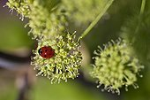 Sevenspotted Lady beetle on a flower of Angelica in Provence