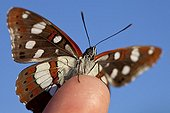 Southern White Admiral at spring in Provence France