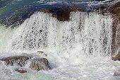 Truite arc-en-ciel dans le canyon de Moricetown Canada ; Elle remonte la rivière pour aller frayer. Ces chutes sont un lieu de pêche traditionnel pour les indiens de la nation Wet'suwet'en qui viennent y pêcher le saumon.