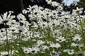Oxeyedaisies in bloom in a garden