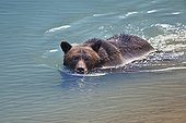 Grizzly swimming in a small glacial lake blue in Alaska