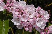 American laurel in bloom in a garden