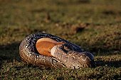 African rock python eating a Thomson's gazelle Masai Mara