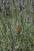 Butterfly on fine lavender in bloom in a garden