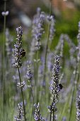 Bumblebees on fine lavender in bloom in a garden