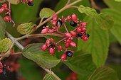Mooseberry in fruit in a garden