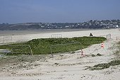 Collection of polluting green algae on a beach Brittany
