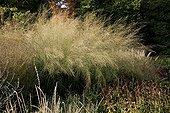 Tufted hair grass in a garden in autumn ; or Molinia caerulea