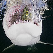 Gueule d'un Requin citron dévorant un poisson Bahamas