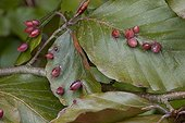 Galls caused by a Gall midge on a beech