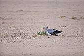 Secretarybird lying on the ground in the Kalahari desert RSA ; It seeks to protect themselves from a sandstorm