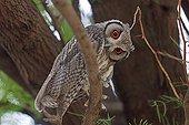 Southern White-faced Scops-Owl Kalahari Gemsbok NP in RSA