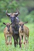 Gnou à queue noire et 2 petits dans le PN Kruger en RSA