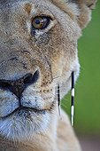 Lioness with two porcupine quills in the Kruger PN