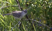 Barred Warbler on a branch Estonia