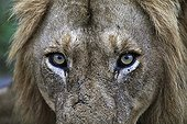 Portrait of male lion pretending to wear a wig RSA