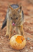 Young Black-backed jackal licking the muzzle RSA  ; It paws full of inside an ostrich egg.
