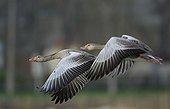Greylag geese flying Estonia