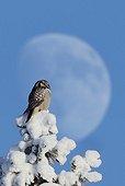 Northern Hawk Owl on a tree with snow Kuusamo