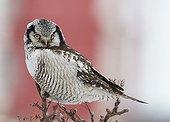 Northern Hawk Owl on a branch