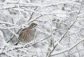 Hazel grouse on a branch with snow Kuusamo