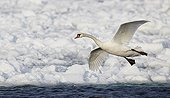 Mute swan about to land in the water Finland