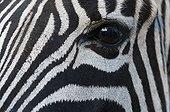 Oeil de Zèbre de plaine en Afrique du Sud