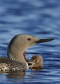 Young Red-throated loon swimming near an adult Vaala Finland