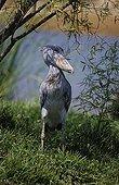 Shoebill standing on bank