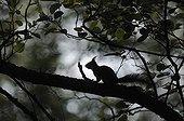 Red squirrel careful on a branch of alder Vosges France