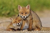 Red foxcubs resting on a way in the Vosges France