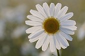 Oxeyedaisy in the Vosges France