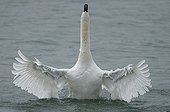 Swan male taking bath on Neuchatel Lake Switzerland