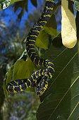 Philippine mangrove snake Luzon Philippine