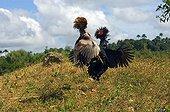 Cock Fighting Guimaras Island Philippines