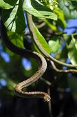 Paradise Tree Snake going down from a tree Luzon Philippine