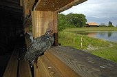 Young common cuckoo in a blind Switzerland ; He was raised by a couple of Wagtails.