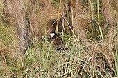 Coucal des papyrus et Papyrus Marais du delta de l'Okavango