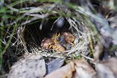 Willow Warbler nest with very young chicks Ristiina