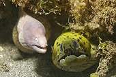 Murène à tête grise et Murène frangée dans un trou Sulawesi