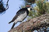 Acorn Woodpecker on a branch Mendacino California