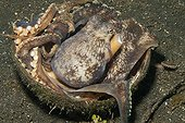 Coconut Octopus uses half a coconut shell as home ; It carried it half a coconut shell around to hide under as protection