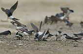 House martins taking mud fo their nest Switzerland