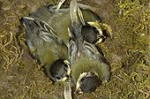 Young great tits in a nest box in Switzerland ; Of the ten young people present at the beginning, only three survivors.