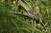 Young Common Treecreeper the day of first flight Switzerland