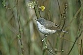 Hume's Lesser Whitethroat adult on a branch in Switzerland ; Adult crossing in spring.