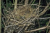 Nest of red-backed Shrike in the Val de Ruz in Switzerland