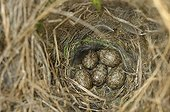 Eggs of eurasian tree sparrow in a nest box in Switzerland